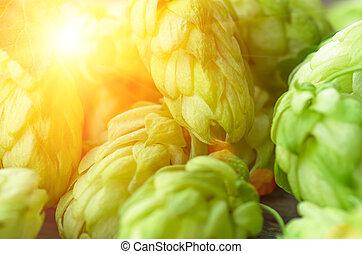 Green hop cones closeup - Green fresh hop cones for making...