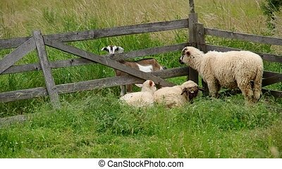 Sheep in the corral