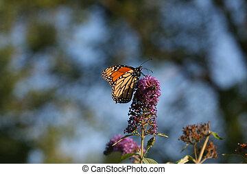Monarch Butterfly Danaus