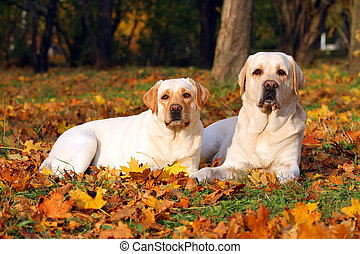 the two yellow labradors in the park in autumn close up