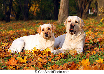 the two yellow labradors in the park in autumn