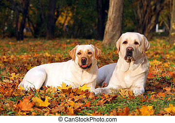 two yellow labradors in the park in autumn close up