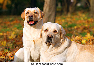 two cute yellow labradors in the park in autumn close up