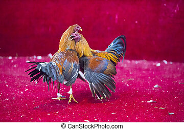 Cockfight in Ecuador. Popular sport and tradition. - Two...