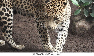 A leopard walks in super slow motion - Closeup view of...