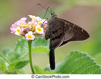 Brown Longtail Butterfly - Urbanus procne