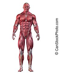 bodybuilder pose - 3d rendered anatomy illustration of a...