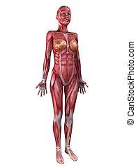 female muscular system - 3d rendered illustration of a...