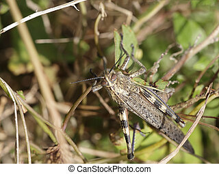 Macro of a grasshoppper from a portuguese meadow. Early...