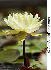Yellow lily - Yellow waterlily