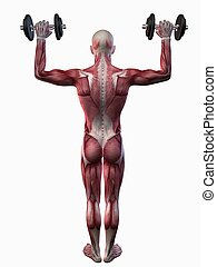 male workout - shoulder workout - 3d rendered anatomy...