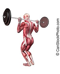 male workout - squats - 3d rendered anatomy illustration of...