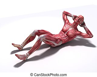 crunch - abs workout - 3d rendered anatomy illustration of a...
