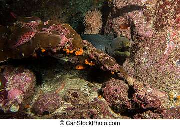 Moray Eel Malpelo - A famous spotted Morray Eel in Malpelo...