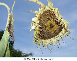 Dying sunflower - Sunflower in the sun shine but still dying...