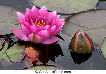 Pink bud - Pink waterlily and new bud