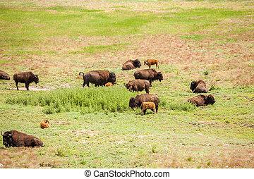 leur, peu, autrefois, buffles, troupeau