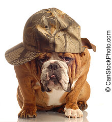 bulldog wearing hunting cap - english bulldog wearing...