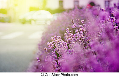 Beautiful lavender garden with fresh and colorful lavender...