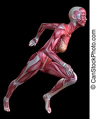3d muscle model - 3d rendered anatomy illustration of a...
