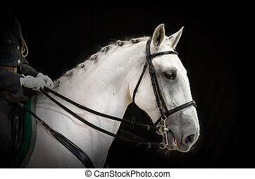 portrait of gray dressage horse on black - A portrait of...