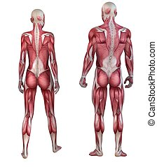 human muscular system - 3d rendered anatomy illustration of...