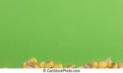 Falling grains of corn on a pile of corn on a green screen.