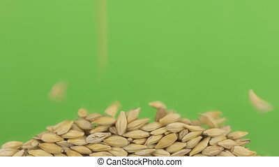 Falling grains of barley on a pile of barley on a green screen.