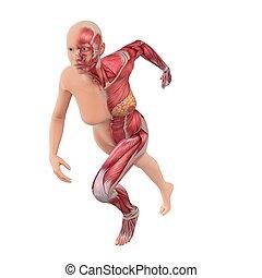 female sprinter - 3d rendered anatomy illustration of a...