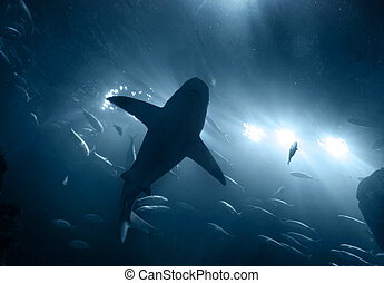 shark underwater in blue - one large grey shark underwater...