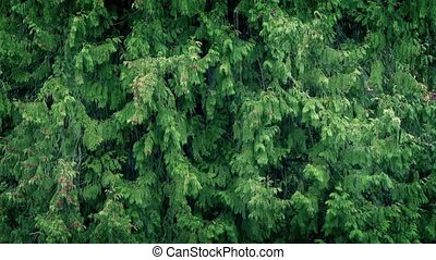 Forest Trees In Heavy Rain - Large forest trees in a...