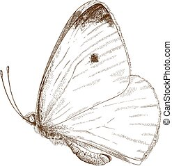 engraving  illustration of small cabbage white butterfly