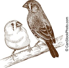 engraving illustration of two japanese finches - Vector...