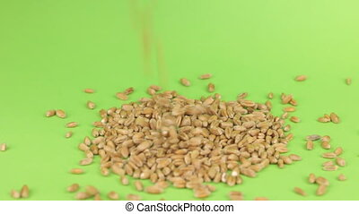 Falling grains of wheat on a pile of wheat on a green screen,