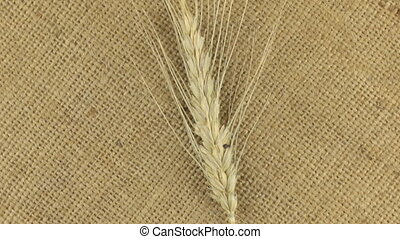 Rotating of the spikelet of wheat lying on burlap. View from...