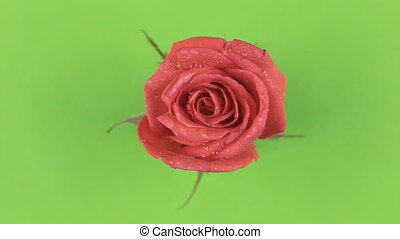 Slow rotation red rose on a green background. Chromakey.