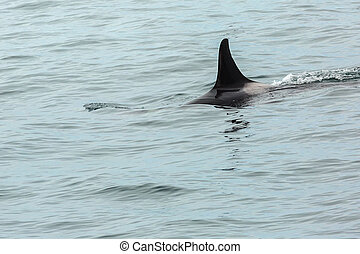 Killer Whale - Orcinus Orca in Pacific Ocean. Water area...