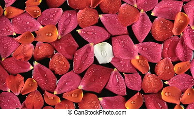 Wind on rose petals with dew drops, spa concept. Beautiful...