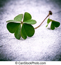 Clovers leaves on Stone .The symbolic of Four Leaf Clover...