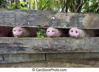 primer plano, tres, cerdo, snouts