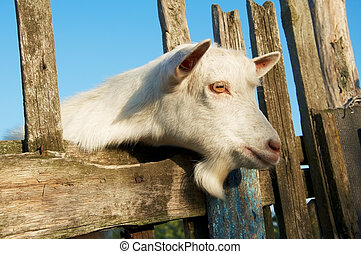A young goat looks at you from behind al fence