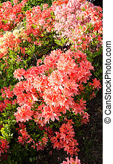Spring flowering bush - spring day in the botanical garden,...