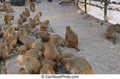 Swayambhunath,  Nepal,  Kathmandu, macaco