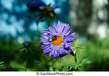 blue aster in the garden - in the summer garden bee on a...