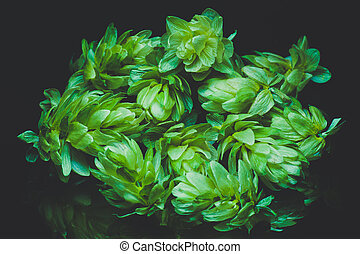 Green hop cones on a dark background. Blue toned - Green hop...