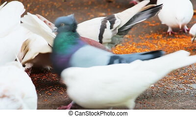Pigeons peck grains on the pavement