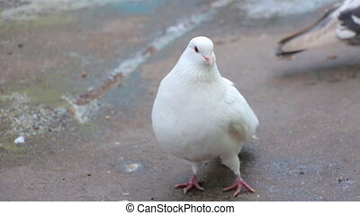 White pigeons in front of camera cleans wings. Photographed...