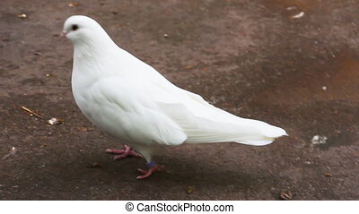 White pigeons in front of camera - Beautiful white pigeon...