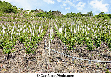 vineyards at hills of Moselle river in Rhineland-Palatinate. (Germany)