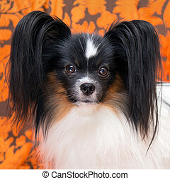 Portrait of a dog breed Papillon - Cute dog of the...